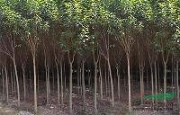 雪松、广玉兰、红叶石楠、大叶女贞等多种绿化苗木