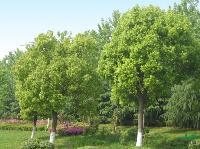 栾树大叶女贞、红叶石楠、香樟、紫薇当年苗