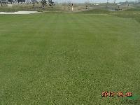 供应高尔夫球场草种 匍匐剪股颖草种