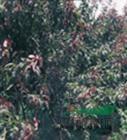 安徽2018红叶桃,紫叶李,桂花,香樟,广玉兰,大叶低价格