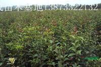 哪里的桂花最多、哪里的桂花最便宜、浏阳红成苗木场的桂花最便宜
