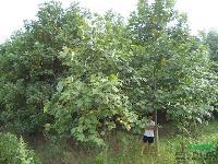 6馬褂木價格7公分馬灌木8公分馬灌木15公分馬灌木