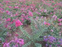 矮紫薇:地苗和袋苗