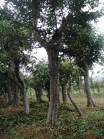 樸樹:地苗和袋苗