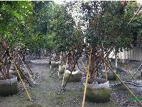树葡萄(嘉宝果):地苗,盆景和袋苗