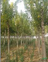 河南鄢陵 供应1--15公分复叶槭
