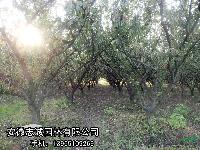 安徽供:高桿女貞、三角楓、紅葉李、烏桕、桂花、石楠、枇杷