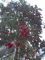红花荷种子供应 红花荷种子批发 红花荷销售
