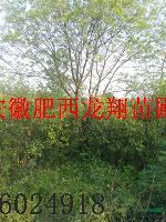 供应国槐、朴树、朴树、榔榆、槐树、丛生乌桕、丛生大叶女贞