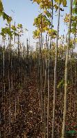 供应1-2米复叶槭.2-3公分复叶槭.8-13公分定值复叶槭