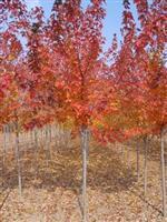 供应中华红叶杨、全红杨、美洲黑杨等速生杨树苗