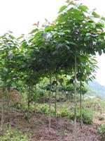 木瓜、垂槐、紅王子錦帶、紅葉石楠、喜樹
