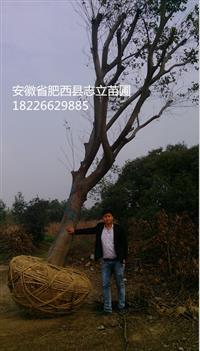 安徽朴树、安徽榔榆、安徽黄连木,最近价格,肥西苗木供应商
