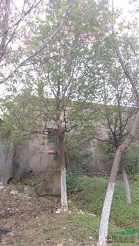 安徽复叶槭,安徽苗木基地,质量*好,诚信*