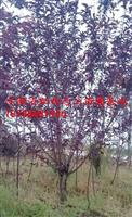 安徽红叶桃,红叶桃价格,肥西红叶桃苗木基地红叶桃供应商