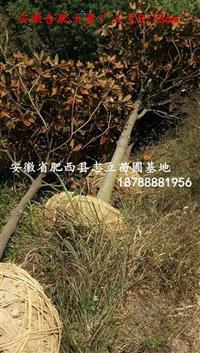 安徽广玉兰、安徽白玉兰、规格基全,新苗木供应商
