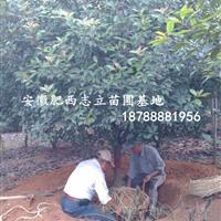 安徽高杆石楠,肥西红叶石楠球,肥西苗木供应石楠,*新价格。