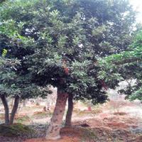 丛生杨梅树8-10-12-15-20-30公分杨梅树