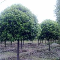 桂花树,湖南大桂花树,柏加移栽桂花,长沙桂花树基地