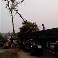 南京樸樹價格10公分樸樹價格12公分樸樹價格15公分樸樹價格