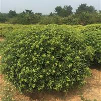 安徽海桐球,安徽海桐球基地,肥西苗木好供应海桐球供应商