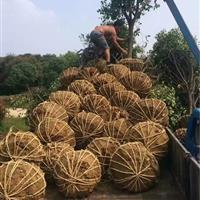 安徽红叶石楠树基地、肥西红叶石楠树价格、肥西苗木基地红叶石楠