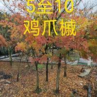 红枫,鸡爪槭,榉树,朴树,厚朴,楠木,红豆种子