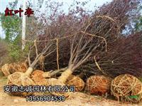 供应:丛生女贞冠300-400-500公分、红叶李、朴树、