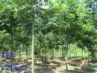 浙江地区供应花榈木