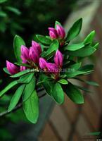 紫鹃 锦绣杜鹃 比利时杜鹃、西洋杜鹃