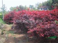 湖南嫁接紅楓、原生大紅楓、紅楓價格、龍騰苗木基地為您特價供應