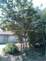 中华蚊母 蚊母 蚊母树