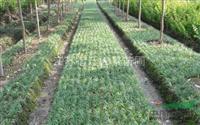 矮麦冬 供应优质草坪 矮麦冬 百合科沿阶草属 玉龙草
