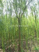 江苏常州地区供应5-20公分垂柳
