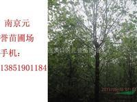 【南京元誉苗圃】马褂木基地,杂交马褂木,国产马褂木