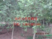 供应;乌桕价格,乌桕树价格,精品乌桕价格,南京乌桕苗圃价格
