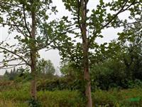 九江马褂木