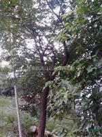 朴树价格,10公分15公分20公分厚朴价格