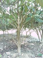 枇杷树4.15公分
