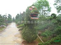 供应湖南造型罗汉松 湖南造型榆树 湖南造型白蜡 造型红花继木