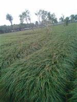 麦冬草,别名书带草、沿阶草