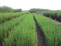 供应落羽杉,规格1-10公分。树形美观,成活率高。量大价优