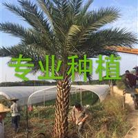 福建中东海枣