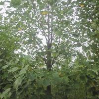 10~20公分杂交马褂木,鹅掌楸,苗圃优惠直销