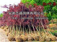安徽售:紅葉李2--15公分、石楠、大葉女、櫻花、三角楓、