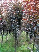 红叶李.紫叶李.柿树