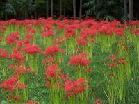石蒜.红花石蒜