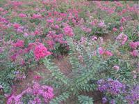 萧山矮紫薇批发-丛生矮紫薇价格-矮紫薇图片