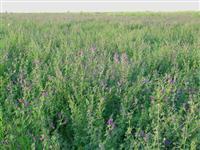紫花苜蓿.