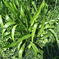 江苏窄叶泽泻 窄叶泽泻基地 泽泻批发 水生植物供应